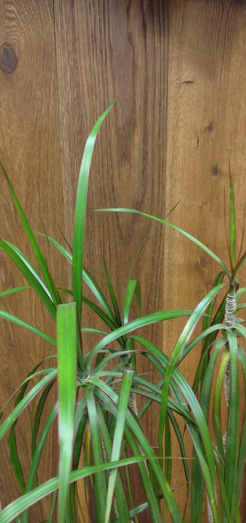 Parquet flottant chêne huile - Chêne multiply rustique fume brossé huilé 180x20x6mm de bois noble